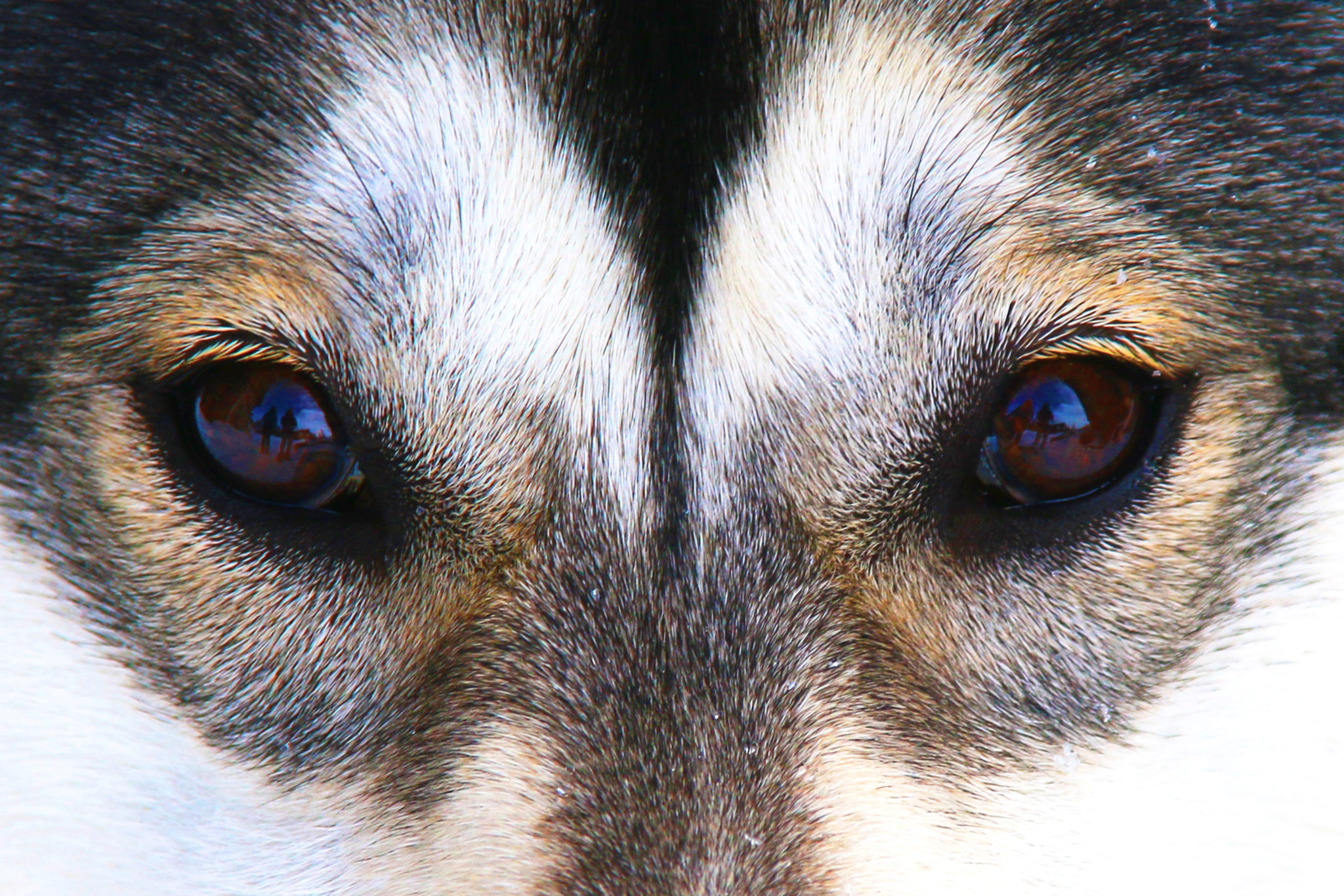 Tittel: Let's play Jeg fikk en ide om å fotografere dyr, nært innpå for å fange essensen av det. Først tenkte jeg på å prøve å fotografere et vilt dyr, som for eksempel en elg, rev eller til og med en fugl. Men så møtte jeg Tyri, en leken husky-malamute valp. Tyri har et spennende mønster i ansiktet, og veldig livlige øyne. Litt av det samme man kan finne i ville dyr.