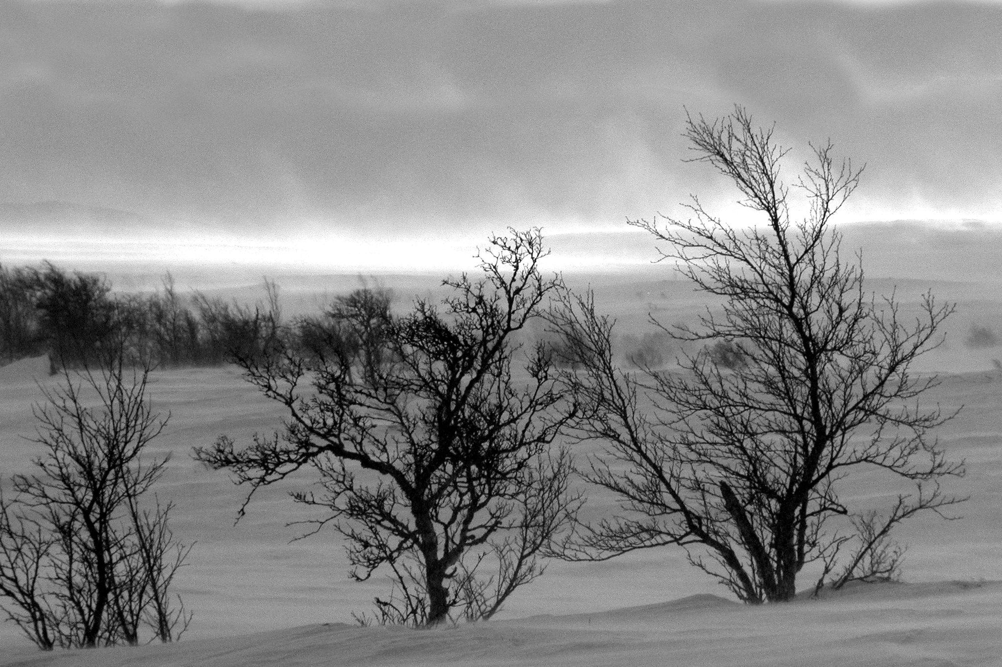 """Bildet – som jeg kaller """"Snøstorm"""" – var en slik dag. Fint vær da jeg forlot bilen for å se etter ryper ved Snødølhøgda, men i løpet av kort tid skiftet været til en forrykende snøstorm. Ingen ryper den dagen men mange fine bilder med mye vær"""