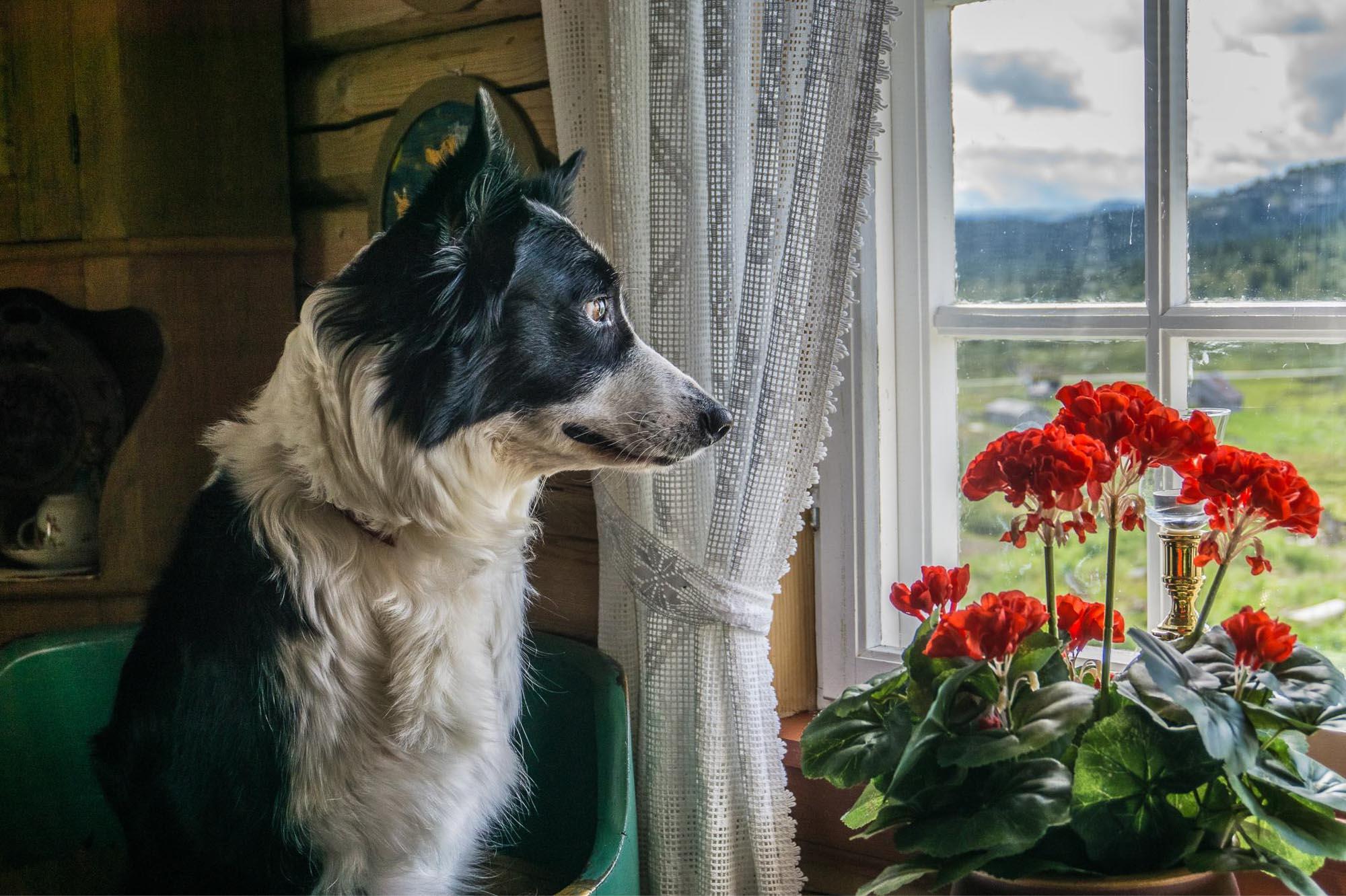 Bildet er tatt på setra vår på Øksendalen en fin sensommerdag. På bildet sitter min firbeinte bestevenn Tessi i en stol og ser etter sau, sitt yndlingsdyr.