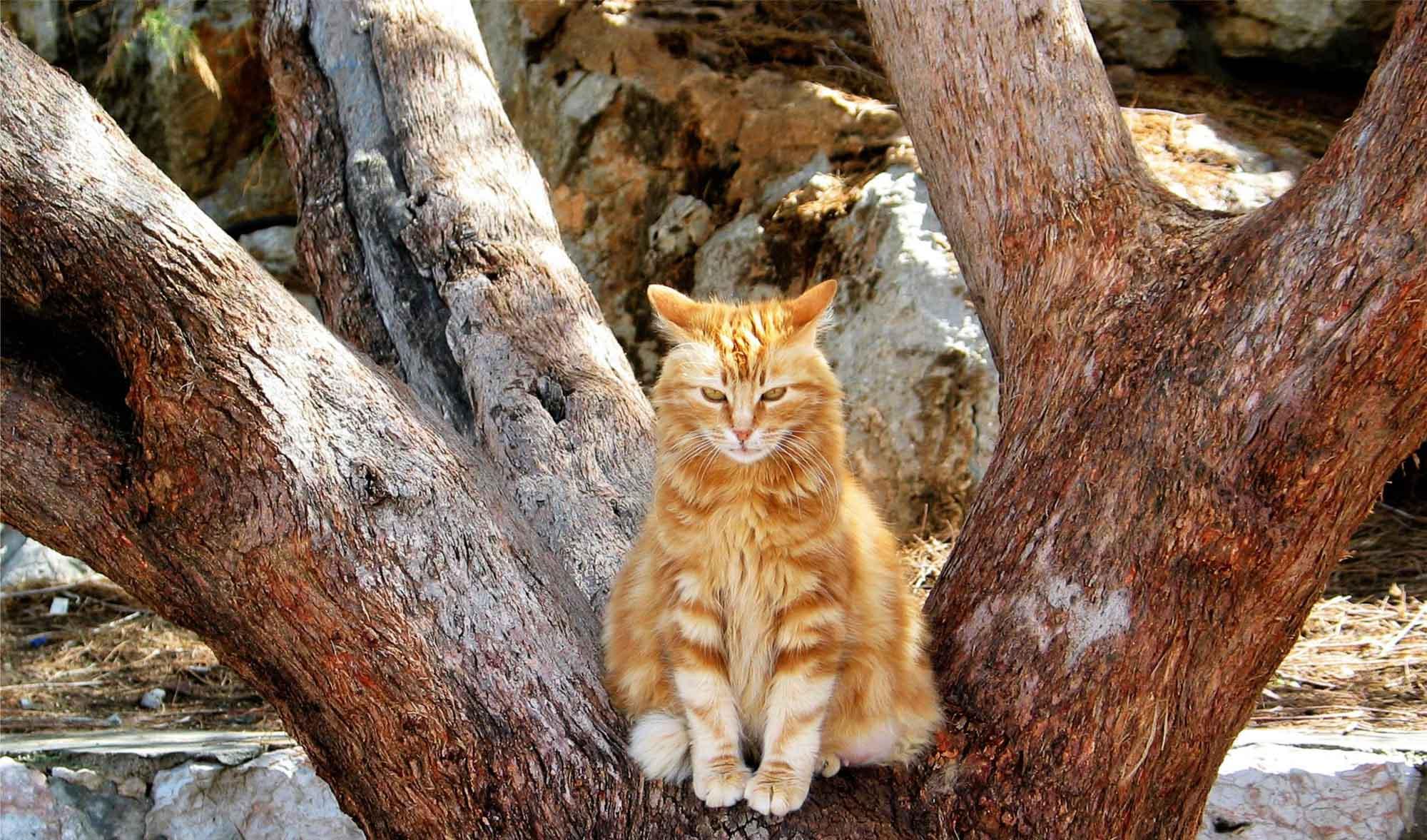 RØD KATT For noen år siden skulle jeg haste ombord på en ferge fra den vesle øya Ydra til Athen. Nede ved havna oppdaget jeg denne sure katte som satt i et oliventre. Den forandret ikke uttrykk eller stilling, selv om jeg bråstoppet og tok tre bilder av den.