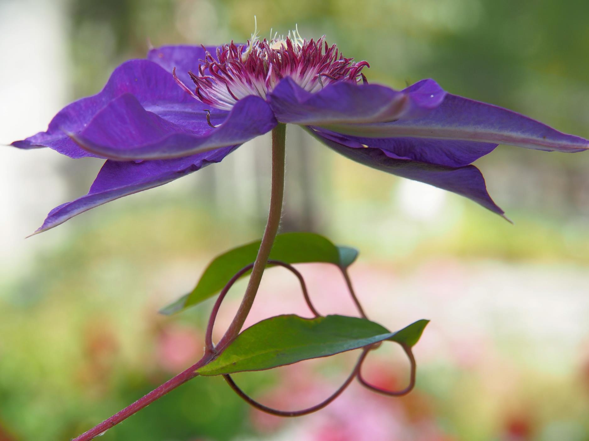 Klematis med store blomster er spennende og litt eksotisk. Denne bor i hagen min på Kjønnås og har kommet med noen få blomster i år. Jeg er spent på å se om den klarer vinteren. Å gå tett på blomstene med kameraet er noe av det mest spennende med fotografering for meg. Det er så mange detaljer i selve blomsten, det er spennende bladformer og jeg prøver å fange sjelen til blomsten. Makrofotografering er for meg læring og undring - det er så mye vakkert i naturen. Det er mange flotte og spennende hageplanter, men de største opplevelsene med kamera har jeg nok hatt med de ville vekstene