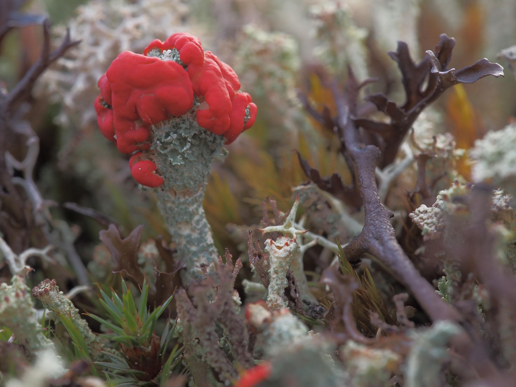 Lav – en forunderlig verden Så lenge jeg kan huske, har jeg vært betatt av lav. Særlig fine syntes jeg at begerlav var, spesielt de med rød kant. Lav er en dobbeltorganisme av alger og sopp som lever i symbiose. Soppdelen sørger for vann og næringsstoffer, mens algene som inneholder klorofyll kan utnytte lysenergien til å bygge opp stoffer av karbondioksyd. Biologene sorterer vanligvis lav i tre grupper: Skorpelav, bladlav og busklav. I Norge har man hittil identifisert ca. 2000 ulike lavarter. (Fakta fra «Lav» av Hans Riddervold)