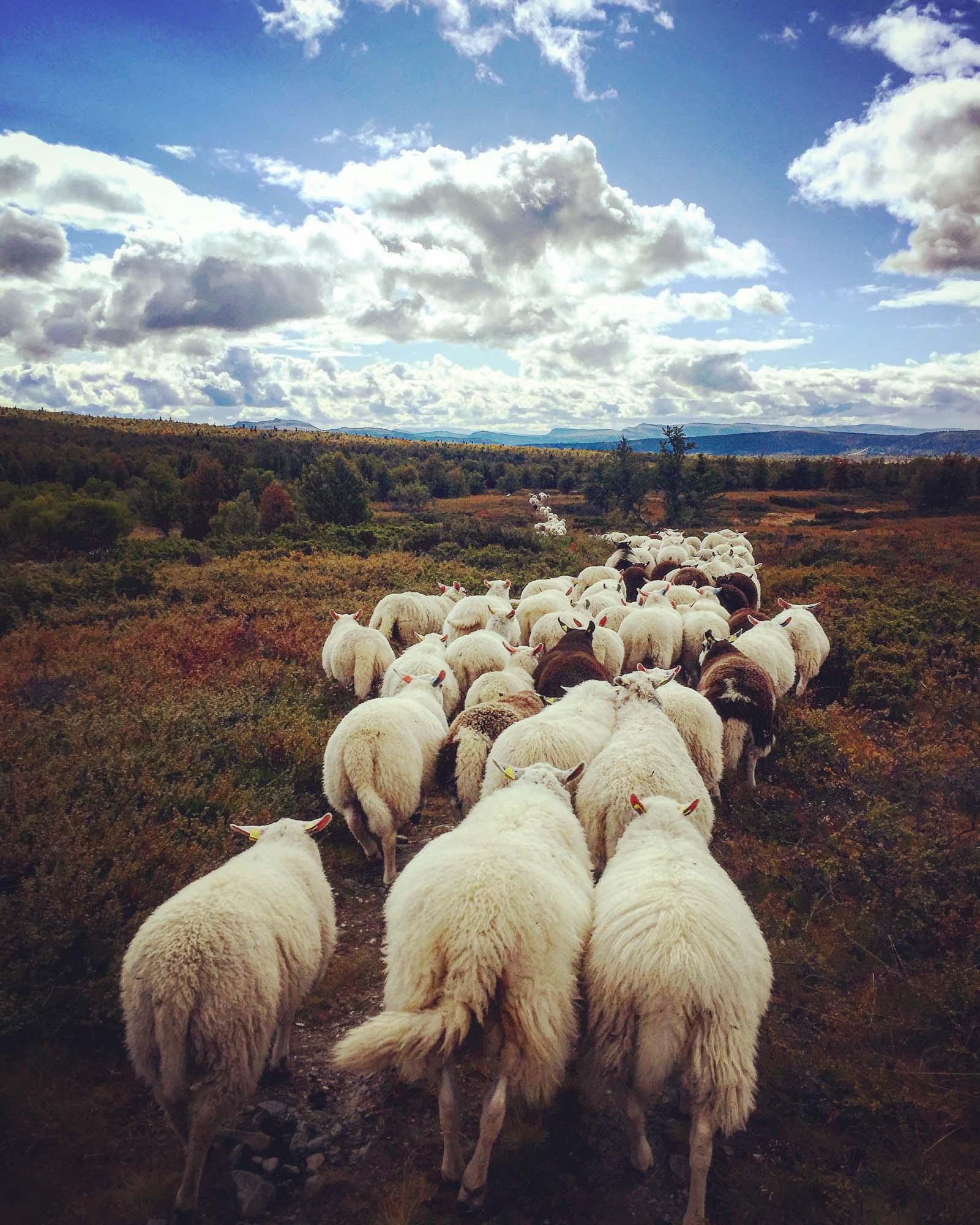 Sauesanking. Bildet tatt ved Breistulen på Ringebufjellet etter 8 timers gange. Vi hadde oppstart ved Ormsetra i imsdalen og avsluttes på Breistulen. Når vi nærmer oss setra møtes alle sauene for å gå på en lang rekke. I dette følget er det ca 1000 sau.