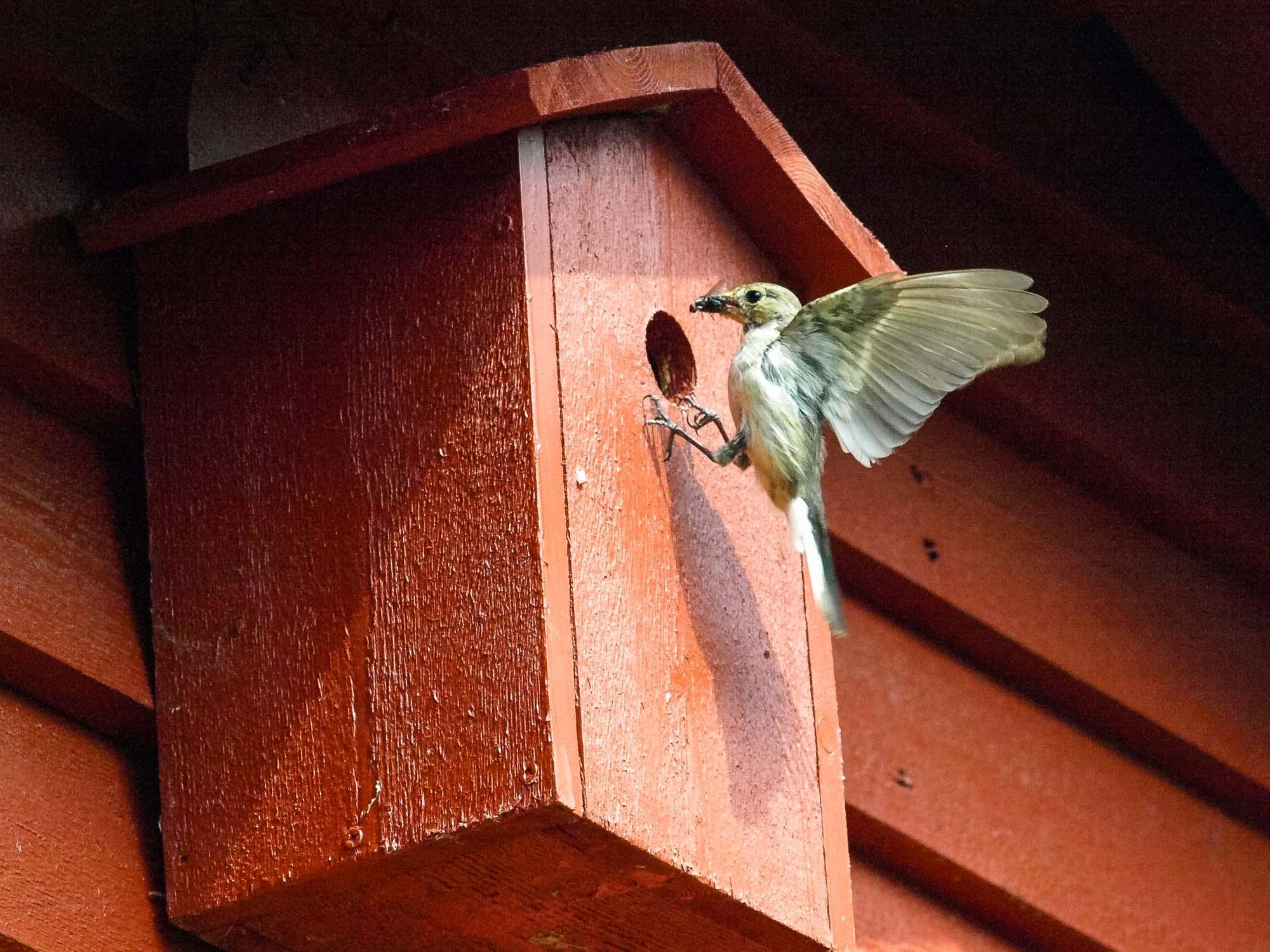 Hektiske dager etter at ungene til en svarhvit fluesnapper er kommet til verden. Mating av 5-8 unger krever logistikk og transport av mat til ungene som forlater reiret etter 15-16 dager. Svarhvit fluesnapper er en trekkfugl som overvintrer i Afrika sør for Sahara. Den kommer til Norge i april/mai. Utenom Norge hekker den i store deler av Europa østover gjennom Russland til Sibir. Hannen kan være polyterritoriell, som vil si at den oppretter et lite territorium, hvor han kan ha tre til fire hunner. Når det gjelder foring prioriterer han primærkullet. Føden er insekter o.l., f.eks. maur, biller, fluer, mygg og edderkopper. Bildet viser at han har fanget en flue. Bildet ble tatt med Olympus E 510 speilrefleks montert på stativ. Lukkertid 1/1600 sek God sommer lille erle her bor vi vegg i vegg. Jeg ruger på min vise og du på dine egg. (sitat Einar Skjæraasen)